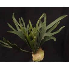 人造多肉-16葉鹿角蕨葉(綠)