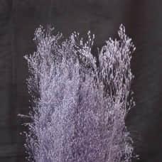 不凋花-大地農園 Agrostis Nebulosa Cloud grass (紫)