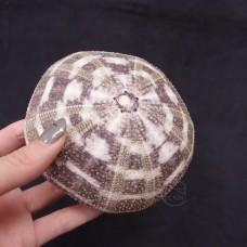 其他素材-大蛇紋海膽
