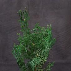 不凋花-大地農園 Hinoki cypress 日本扁柏