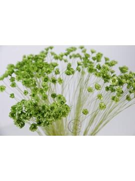 乾燥花 Star Flower Green