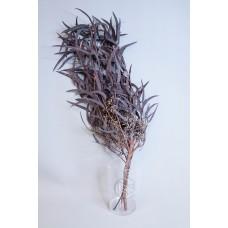 不凋小米葉 暗紫